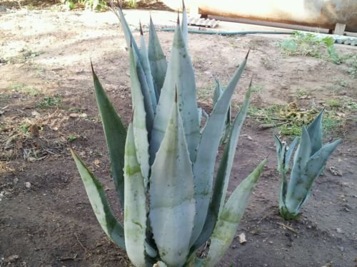 Blue Agave Americana Cactus Plant (Maguey) 20+ Inches.