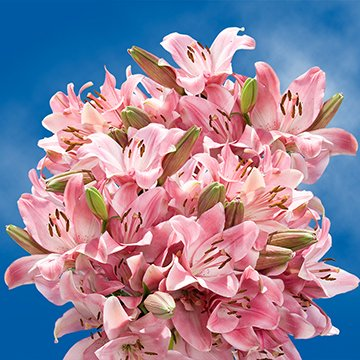 GlobalRose 35 Blooms of Pink Oriental Lilies 10 Stems - Fresh Flowers for Delivery by GlobalRose