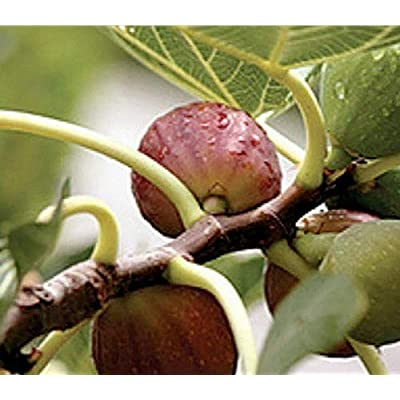 2.5 Inch Live Plant Fig Fruit Tree Celeste aka Honey, Malta, Sugar, Violette, Blue - WSR1111 : Garden & Outdoor