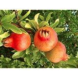 Granatapfelbaum Punica granatum 5 Samen
