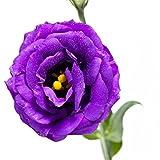 Vastravel Eustoma Lisianthus Purple Flower 10 Pelleted Seeds