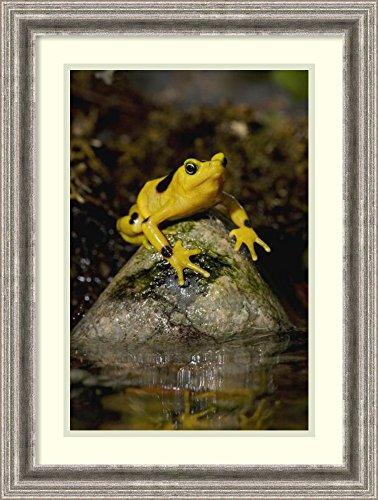 Framed Wall Art Print Panamanian Golden Frog, Native to Panama by San Diego Zoo 18.75 x 24.75 (Panamanian Golden Frog)