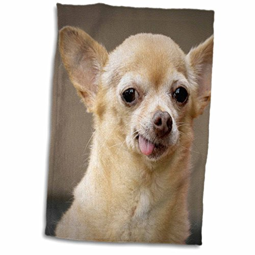 3D Rose Toothless Chihuahua Dog-Santa Fe-New Mexico-Us32 Jmr0502-Julien McRoberts Hand/Sports Towel 15 x - Santa Towel Fe
