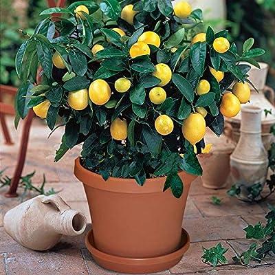 MAPPLEGREEN 50pcs Bonsai Lemon Tree Bonsai High Survival Rate Fruit Tree Bonsai for Home Gatden Backyard: Garden & Outdoor