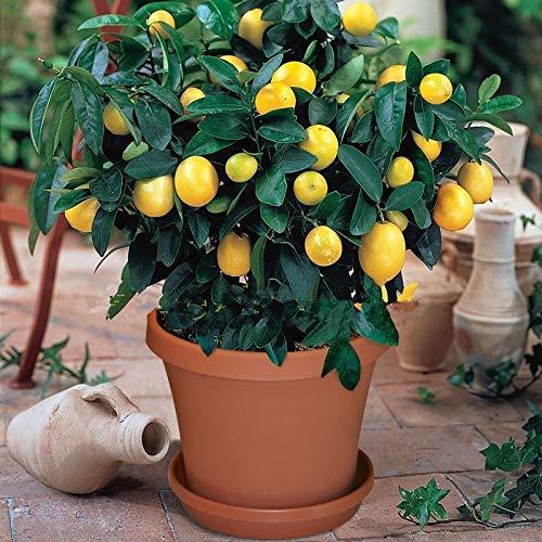 100pcs Lemon Tree Seeds Non-GMO Organic Bonsai Easy to Grow Fruit Seeds