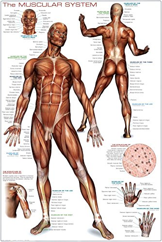 Muscular System Poster 24 x 36in
