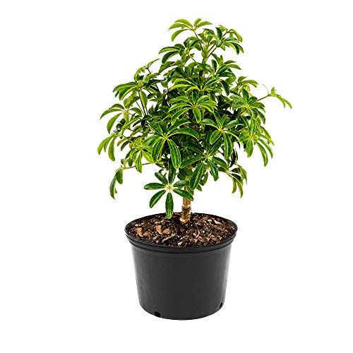 AMERICAN PLANT EXCHANGE Dwarf Braided Hawaiian Umbrella Tree Schefflera Arboricola Live Plant, 6'' 1 Gallon, Indoor Air Purifying by AMERICAN PLANT EXCHANGE (Image #3)