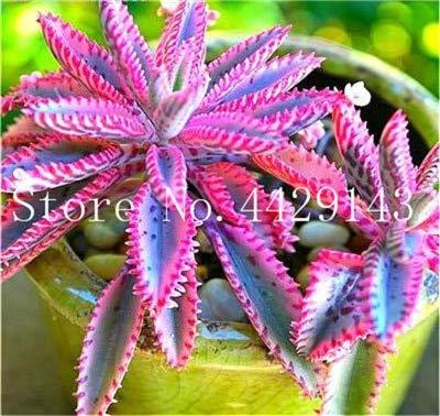 Kasuki Rare Purple Bromeliad Tillandsia Bulbosa Air Plant Very Easy Growing Lazy Plants Bonsai for Home Garden 50 Pcs - (Color: 2)