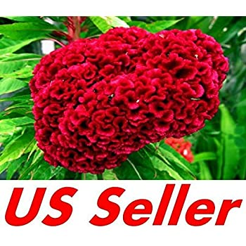 100 yellow 100 pink 100 purple $5.99 100 red Celosia Giant Cockscomb seeds