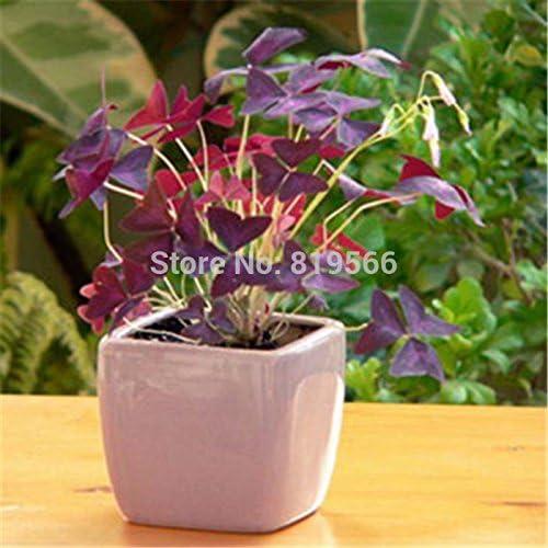 Lucky Red Semillas Semillas de hierba verde trébol jardín exterior Plantas de interior bonsai casa patio 6 Semillas: Amazon.es: Jardín