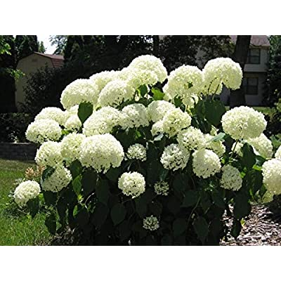 Old Fashion Snowball Viburnum Viburnum Opulus Roseum Bigv003 : Garden & Outdoor