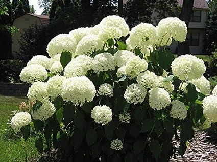 Roseum 50 seeds Viburnum opulus