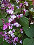 Purple Podded Asian Heirloom Hyacinth Bean (Fujimame) by Stonysoil Seed Company..EDIBLE and EXTREMELY ORNAMENTAL