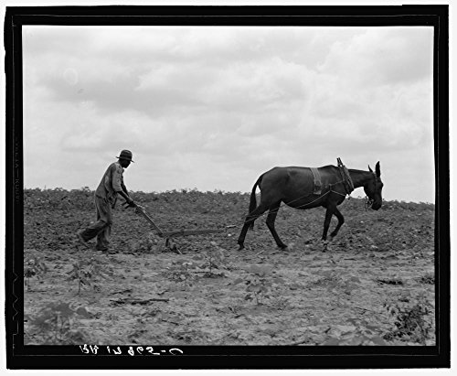 The cotton sharecropper's unit is one mule and the land he can cultivate with a one-horse plow. Greene County, ()
