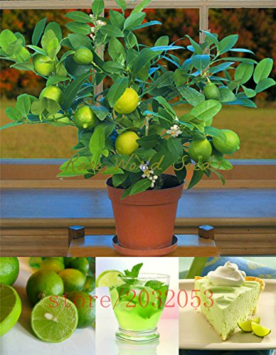 20pcs/bag kaffir lime seeds, lime seeds, (Citrus aurantifolia) ,organic fruit seeds, BONSAI fruit lemon tree for home garden - Organic Tree Seeds