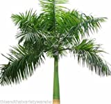 Royal Palm Tropical 25 Seeds Roystonea Regia NEW Seed