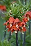 "9 Stück Kaiserkronen/Fritillaria:""Rubra"" (Zwiebelgröße 20/24cm) - Gratis Versand"