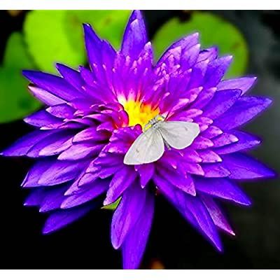 Amazing Live Aquatic Plant Water Lily Tuber For Fresh Water Pond Nymphaea King Blue Tropical W009 by Jayco Buy 2 GET 1 FREE : Garden & Outdoor