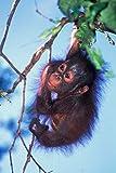 Baby Orangutan, Tanjung Putting National Park, Indonesia Poster Print by Keren Su (18 x 26)