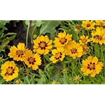 Yellow Coreopsis Seeds, Plains Coreopsis, Heirloom Wildflower Seeds, 100ct
