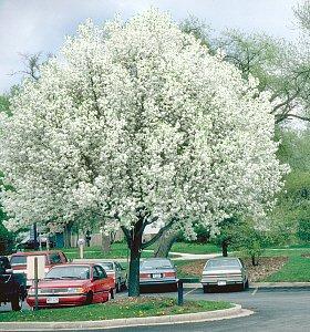 - Bradford Flowering Pear Tree -4-5'