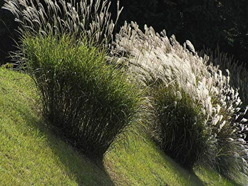 (Miscanthus sinensis Chinese Silver Grass 1,000 Seeds)