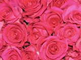250 Hot Pink Roses From South America (Wholesale)   18-inch Stems   250 Stems   Weddings, Anniversaries, or Party Decorations