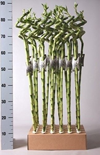 Lucky Bamboo Squiggle x 3. 80cm tall Perfect Plants