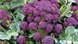 Purple Broccoli 200 Seeds - LOW CARB! Veggie