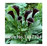 Free Shipping 50pcs Calla Lily - Zantedeschia aethiopica flower seeds (Not Bulbs)