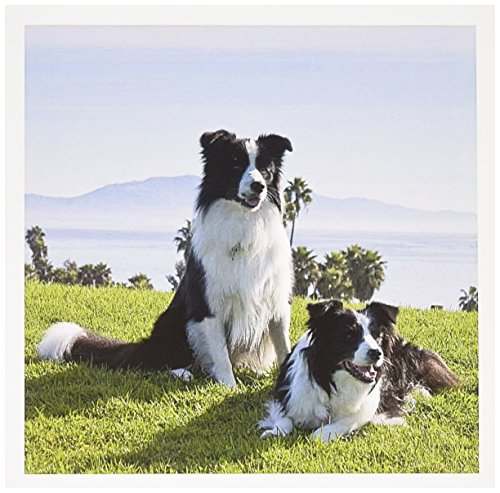 3dRose Two Border Collie dogs - US05 ZMU0093 - Zandria Muench Beraldo - Greeting Cards, 6 x 6 inches, set of 12 (gc_88785_2) ()