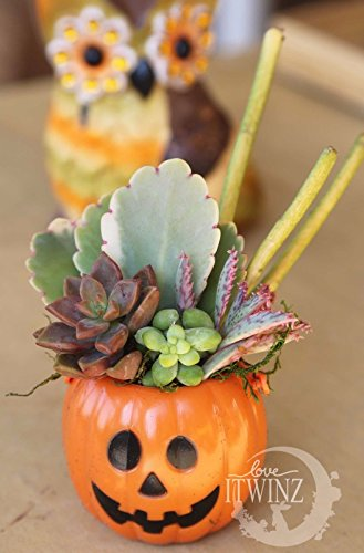 Halloween Set Pumpkin Planter 5 Assorted Cuttings Gift Pink Kalanchoe DIY KIT