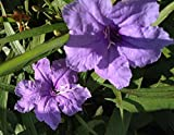 PURPLE KATY Baby Kate Dwarf Mexican Petunia Hybrid Ruellia Live Plant Perennial Ground Cover Starter Size 4 Inch Pot Emerald TM