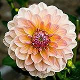 Dahlia Maya 2 Tubers - Giant Flowers, Great Cut Flowers Great Cut Flowers,Blooms Summer to fall