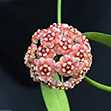 """HOYA MELIFLUA, PINK FLOWERS, LONG LEAVES, ROOTED PLANT SHIPPED IN 4"""" POT"""