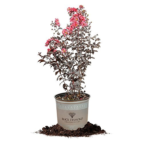 Black Diamond Shell Pink Crape Myrtle - Size: 3 Gallon, Live Plant, Includes Special Blend Fertilizer & Planting Guide