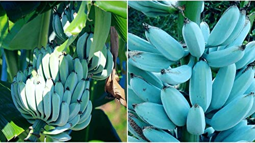 Blue Java Banana Tree 'Ice Cream' Banana Plạnt – Musa Banana Tree Lịve Plạnt Outdoor Decor
