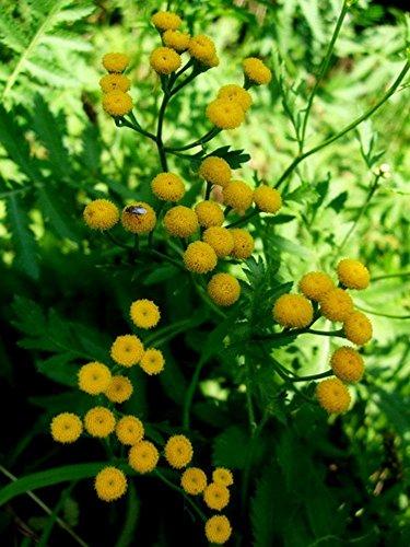 Tansy Perennial Herb Tanacetum Repellant
