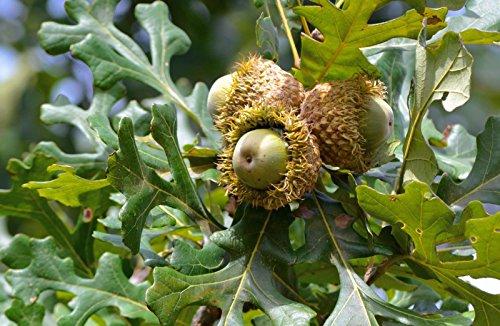 Bur Oak Tree - Quercus macrocarpa Heavy Established Roots - Gallon Pot - 1 Plant