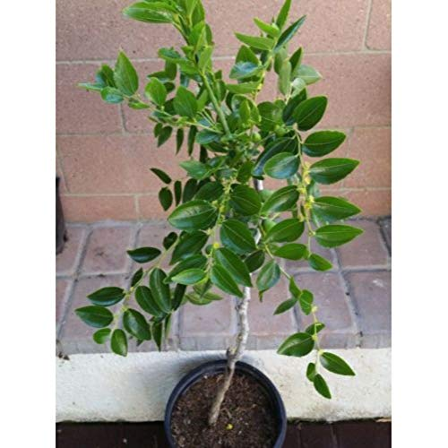 "Chinese Li Jujube Fruit Tree 3-4"" feet Height in 3 Gallon Pot #BS1 by iniloplant (Image #1)"