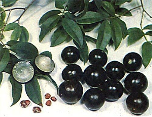Jabuticaba Fruit Tree Plant - 6'' Pot - Myrciaria -Tree That Fruits On It's Trunk