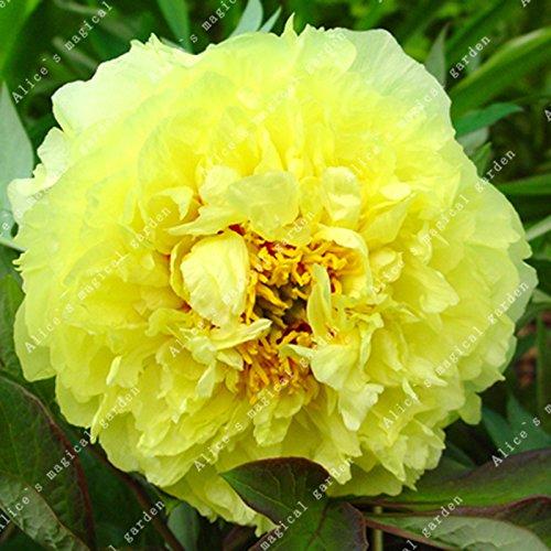ZLKING 1PCS herb/ácea peon/ía Flores bulbo bulbos en maceta Inicio Jard/ín Balc/ón planta bulbosa no semillas de alta germinaci/ón Tasa Bonsai 9