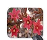 Brachychiton bidwillii flowers mouse pad