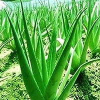 TOPmountain Semillas de Aloe 200 Piezas Semillas de Plantas suculentas Jardín Balcón Plantas Semillas Decoración