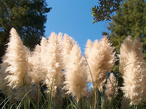 Pampas Grass Qty 15 Live Plants Cortaderia Selloana Showy ()