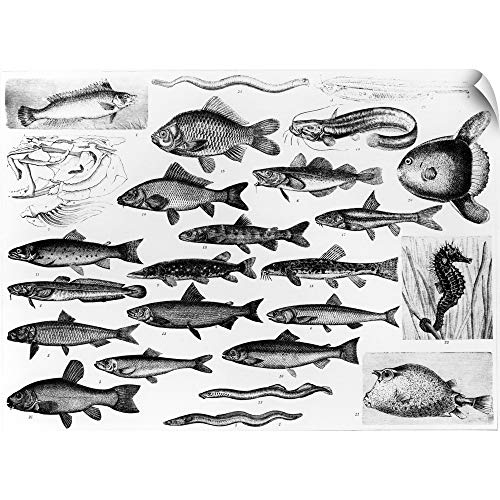 Osseous Fishes - CANVAS ON DEMAND English School Wall Peel Wall Art Print Entitled Ichthyology - Osseous Fishes and Marisipobranchs 24