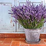 Lavender Gardening Tips and Uses: Lavender's Uses and Benefits in the Garden. This image shows a Lavender plant that's in full bloom and planted in a movable container.