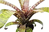 "Bromeliad Vriesea 'Fosteriana' - Live House Plant - FREE Care Guide - 4"" Pot - HARD TO KILL"