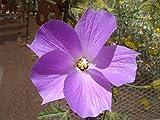 Alyogyne huegelii | Blue Hibiscus | 100_Seeds