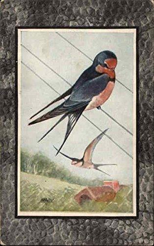 Barn Swallow Birds Original Vintage Postcard
